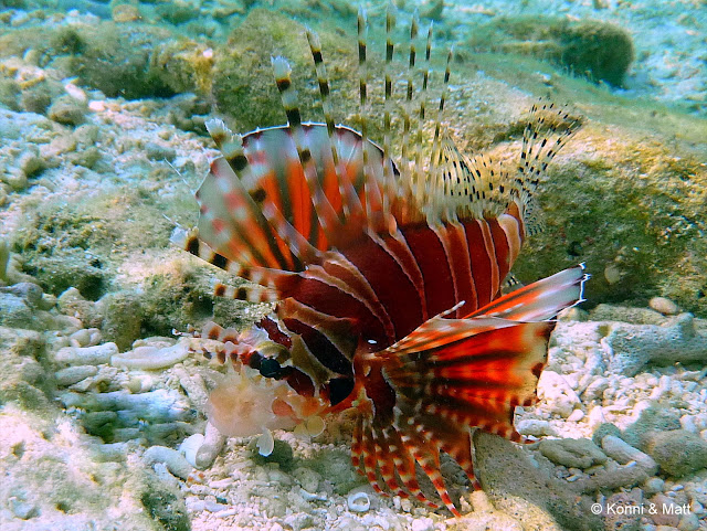 lionfish, celebes sea, sulawesi, indonesia