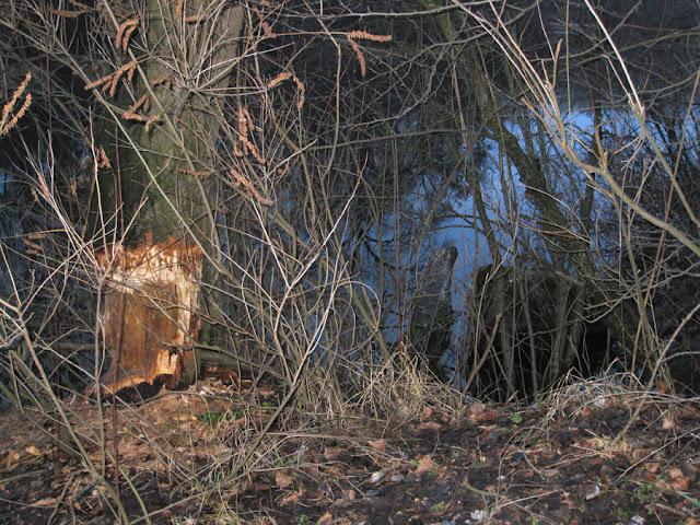 почти сваленное бобрами дерево