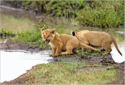 Cachorros de león