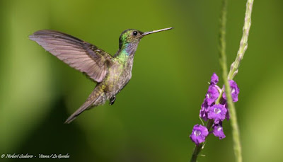 hummingbirds world