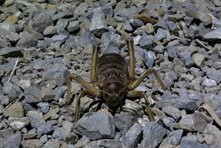giant weta,types of insects