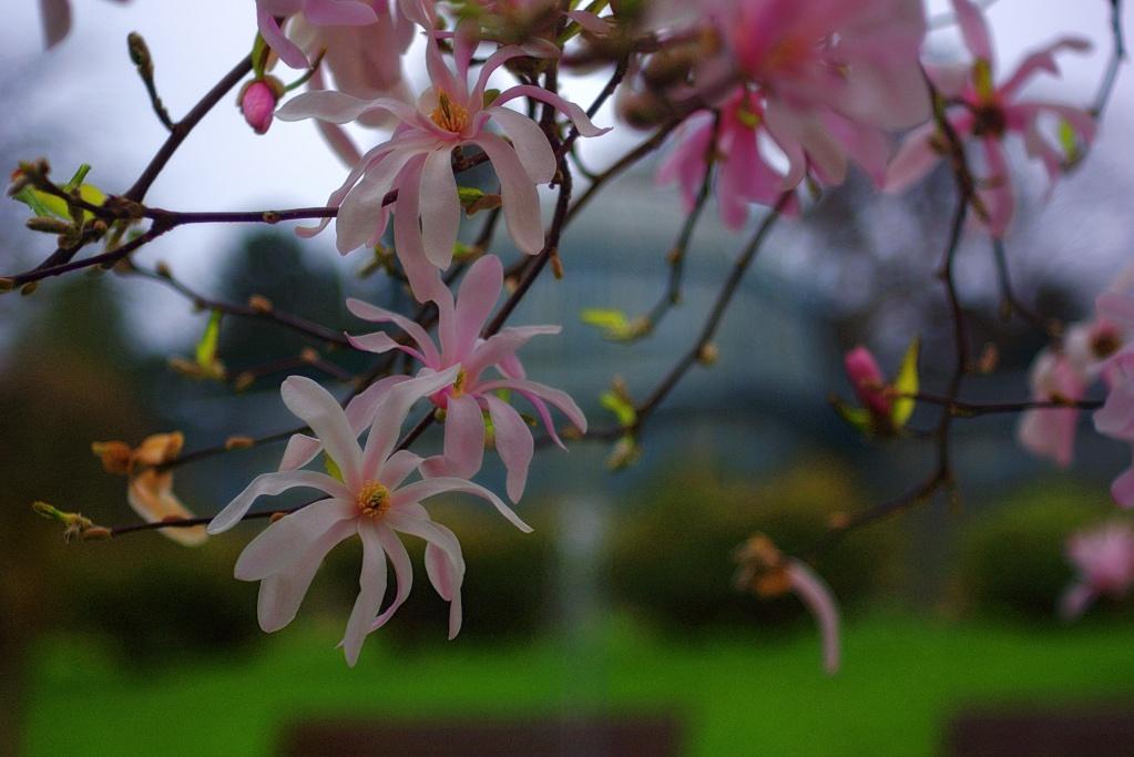 #191 Tessar f2.8 50mm - Magnolienblüte