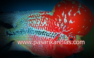 Type Ikan Hias Louhan indonesia Golden Red