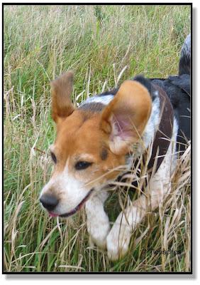 Beagle Emma