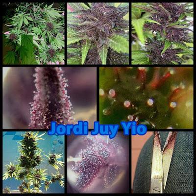 cannabis morado autofloreciente