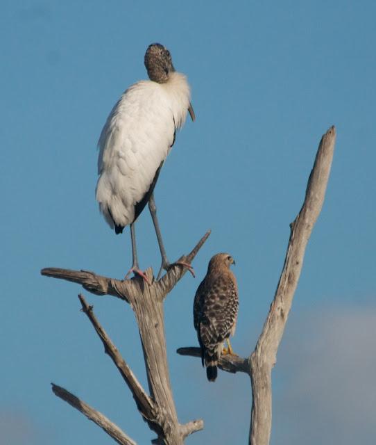 Wood Stork and Red-shouldered Hawk