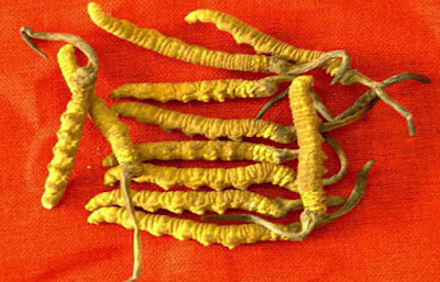 Micelio de Cordyceps