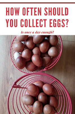 Farm fresh eggs should be collected at least daily.