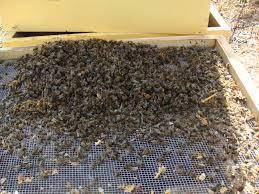 Abeilles mortes sur le plancher de la ruche