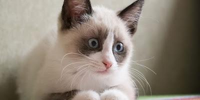 Karayak-Kedi