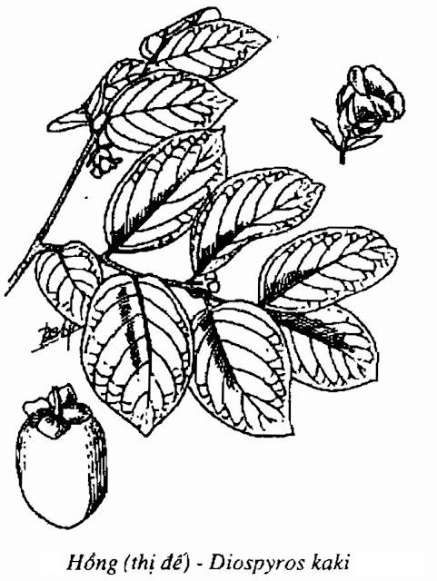 Hình vẽ Hồng - THỊ ĐẾ - Diospyros kaki - Nguyên liệu làm thuốc Chữa Ho Hen