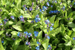 Myosotis alpestris 'Grand Express'