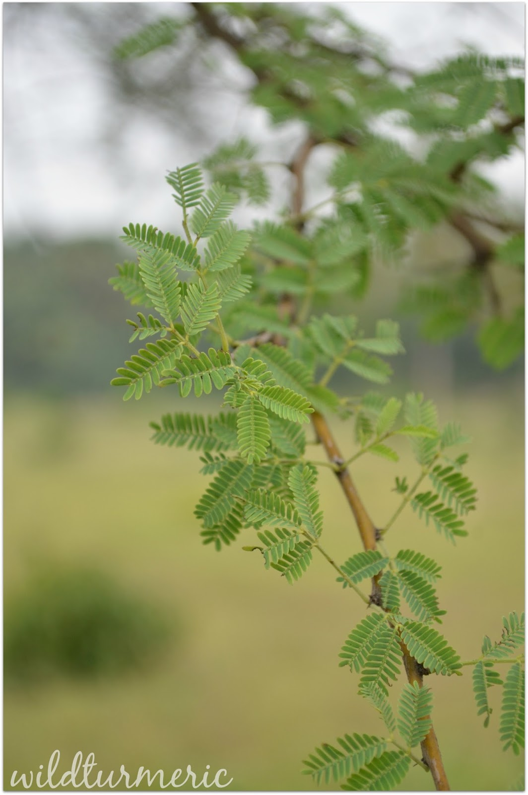 5 Top Medicinal Uses Of Babool Babul Tree Acacia Arabica Kikar