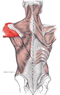 deltoid muscle, anatomy, muscle picture