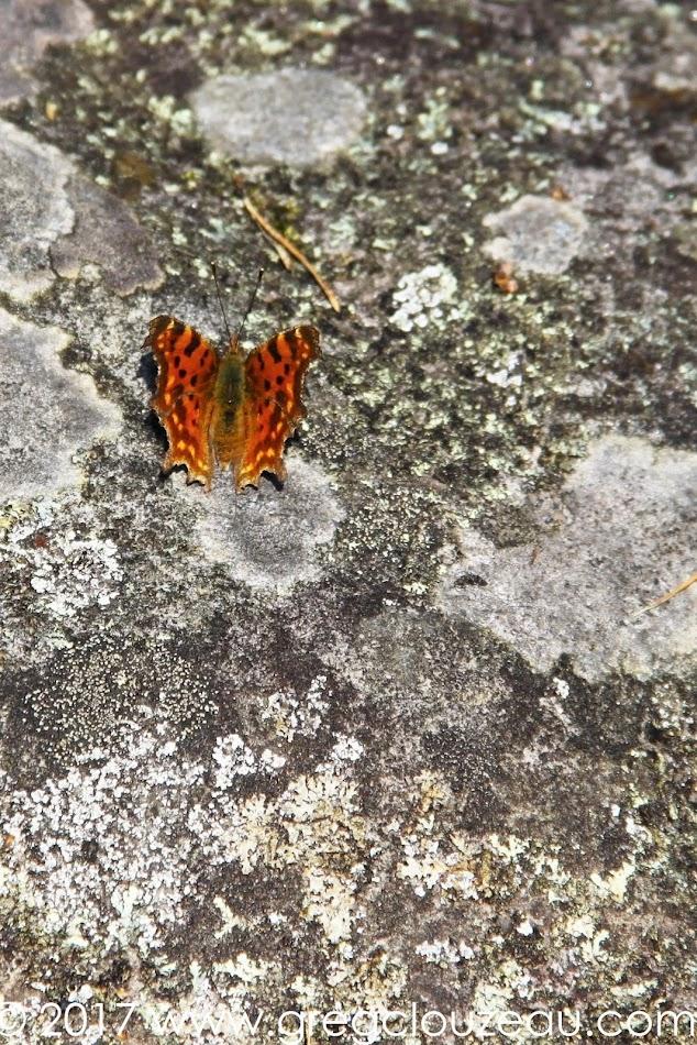 Robert-le-Diable Polygonia c-album en Forêt de Fontainebleau