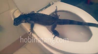 Cara Melatih Iguana ke Toilet saat Buang Kotoran