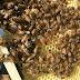 Apicoltura La Pieve il vero miele italiano