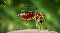 Aedes mosquito (Credit: Smith Collection / Gado / Getty Images) Click to Enlarge.