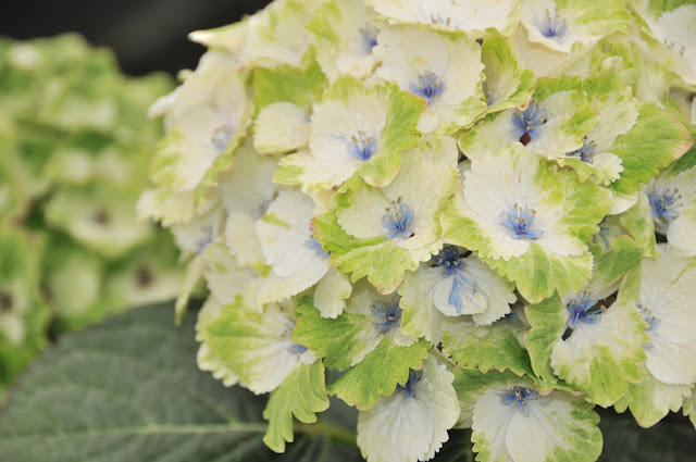 Noblesse hydrangea florets green and white