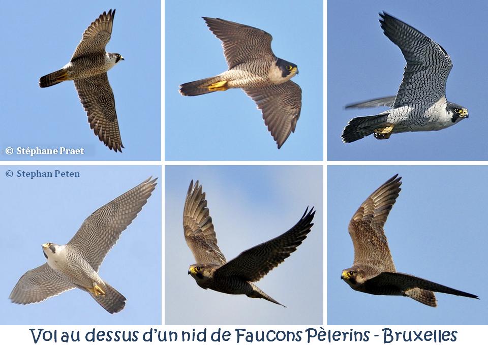 Vol au dessus d'un nid de Faucons Pèlerins à la cathédrale Saints Michel & Gudule - Naissance de fauconneaux à Bruxelles - Bruxelles-Bruxellons