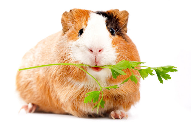 The Five Freedoms apply to all pets, including guinea pigs like this one. In particular for guinea pigs, they should always have another pig as a companion
