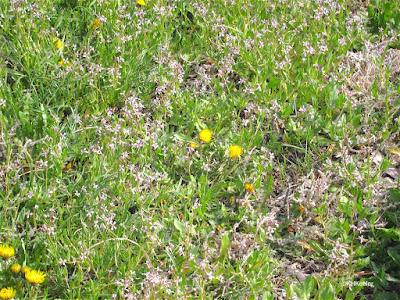 blue mustard, Chorispora tenella