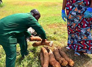 Vice President's Wife;Mrs Dolapo Osinbajo Pictured Harvesting Yam In Her Backyard 4
