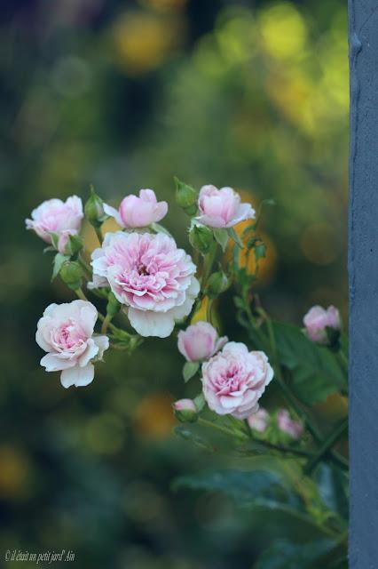 rosier grimpant à fleur groupées petit bonheur