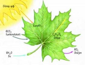 Fotosentez nedir? Nasıl meydana gelir