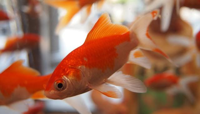 Gambar Ikan Mas - Cara Budidaya Ikan