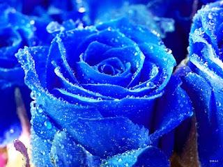 Gambar Bunga Mawar Biru Paling Cantik_Blue Roses Flower 200022