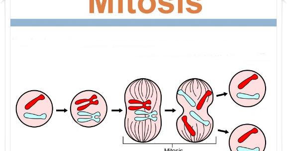 Mitosis Pengertian Ciri Ciri Proses