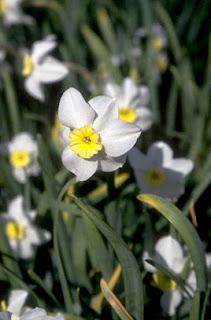Narcissus 'Segovia'