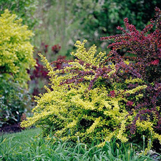 http://www.bhg.com/gardening/plant-dictionary/shrub/barberry/