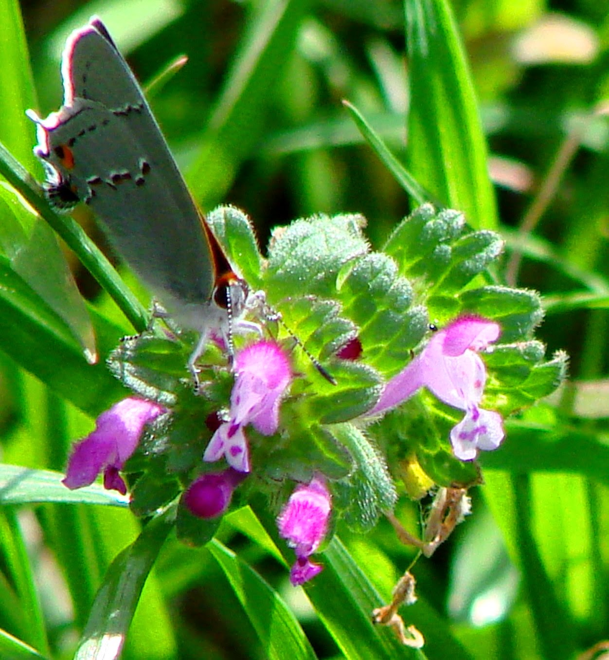 butterfly on henbit, copyright © 2014 Lisa A. Nicholas