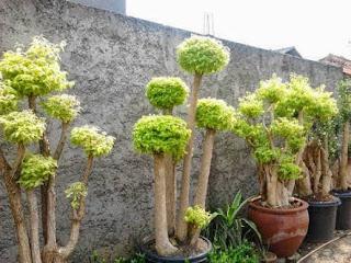 jual tanaman bonsai