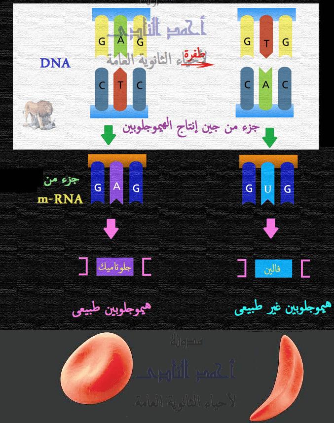 الطفرات – الثالث الثانوى - تصنيف الطفرات تبعاً لنوعها – الطفرات الجينية – إستبدال نيوكليوتيدة – أنيميا الخلايا المنجلية - الهيموجلوبين