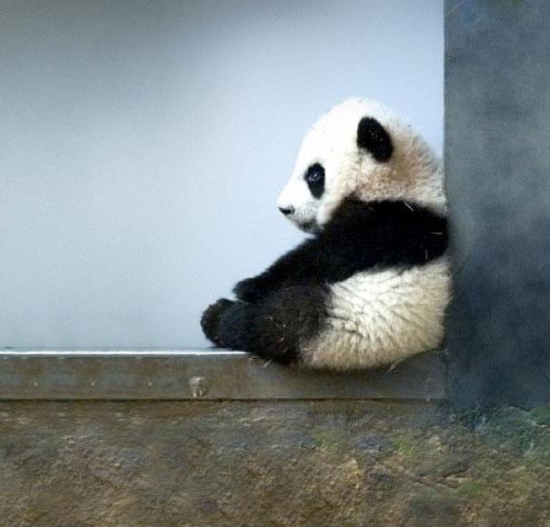 Baby Animals: Baby Panda