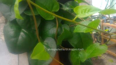 Foto tanaman Binahong.