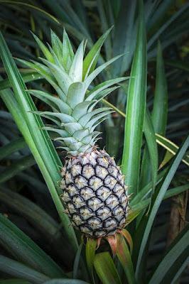 Klasifikasi Dan Morfologi Tanaman Nanas (Ananas comosus L)