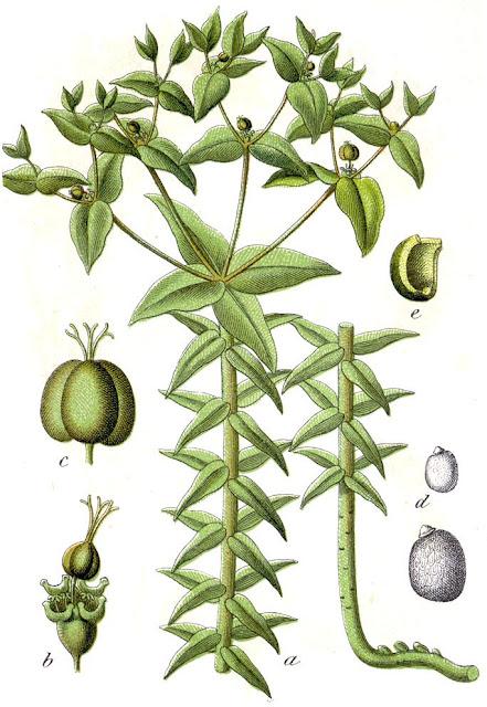 Tục tùy tử - Euphorbia lathyris - Nguyên liệu làm thuốc Nhuận Tràng và Tẩy