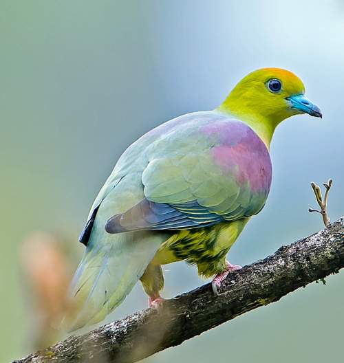 Birds of India - Image of Wedge-tailed green pigeon - Treron sphenurus