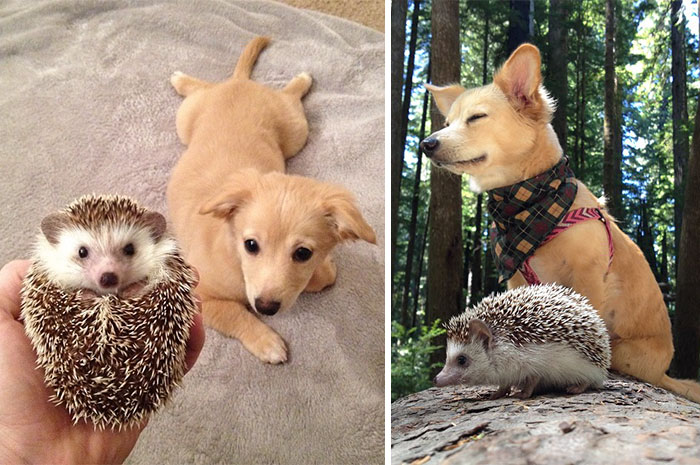 50 Heart-Warming Photos of Animals Growing Up Together - Biddy The Hedgehog And His Sister Charlie The First Day They Met And Now