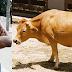 Menina de 12 anos é trocada por vaca e vira escrava sexual em São Cristóvão-SE