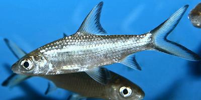 Jenis Ikan Bala Shark dan Harga per ekornya