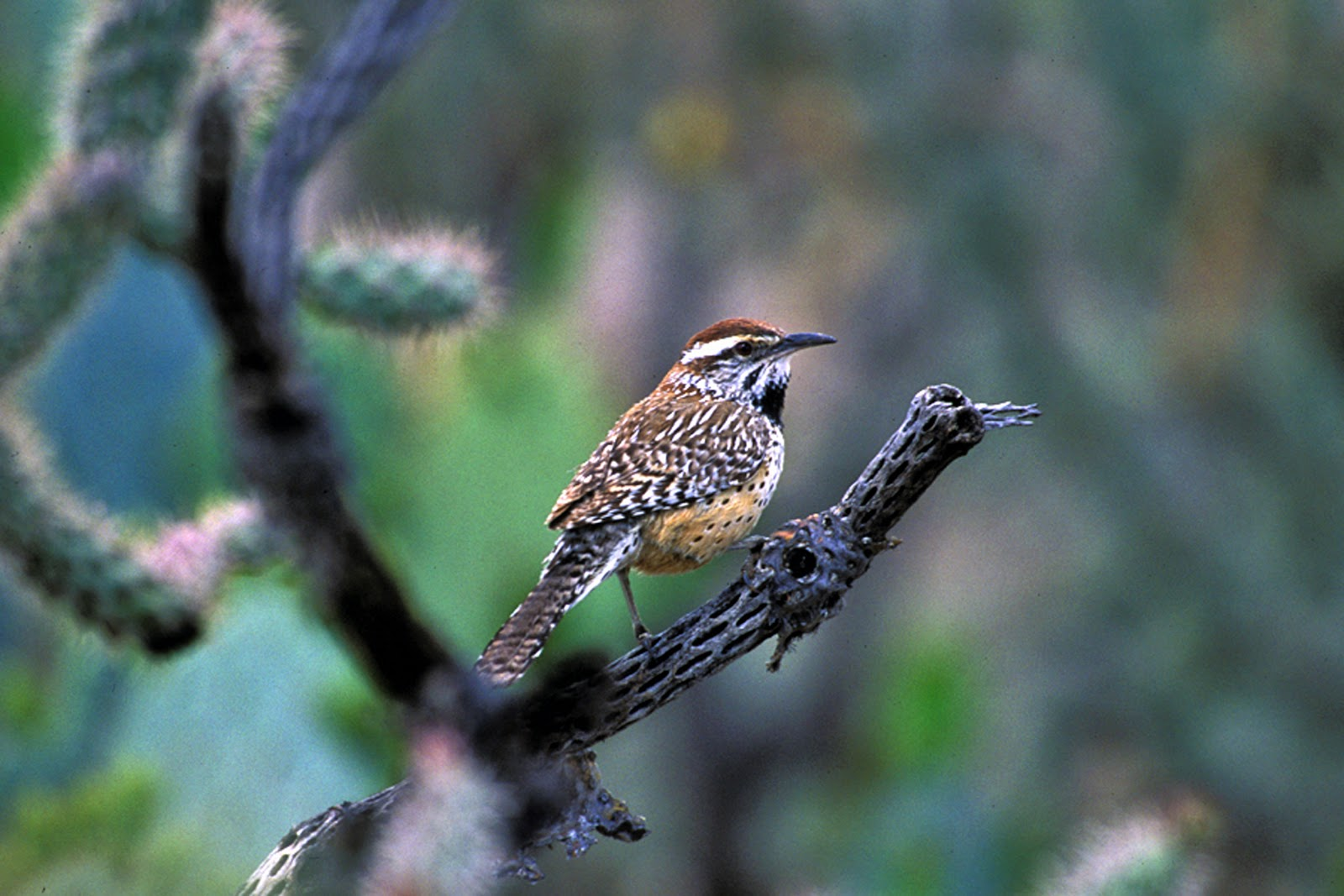 what does the cactus wren eat