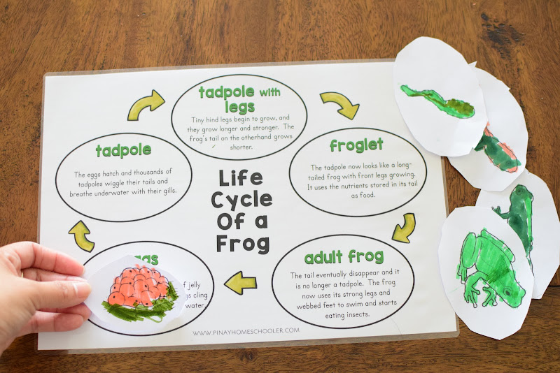 FROG LIFE CYCLE MATCHING WITH DEFINITION CARDS
