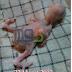 Mengatasi Splay Legs (Kaki Mengangkang) Pada Anak Lovebird