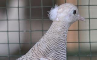 Foto Burung Perkutut Songgo Ratu Jambul Mahkota Wibawa Tolak Santet