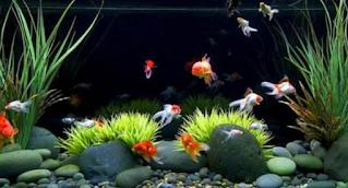 Aquarium untuk Pemula Budidaya Ikan Mas Koki merupakan solusi  Kabar Terbaru- 5 CARA BUDIDAYA IKAN MAS KOKI UNTUK PEMULA DI AQUARIUM
